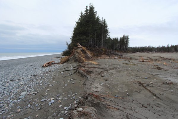 "This narrow fringe of  trees is losing large chunks to every major storm.  <a href=""http://www.groundtruthtrekking.org/Essays/Global-warming-coastal-erosion-malaspina-glacier.html"">Global warming is leading to rapid coastal erosion</a> on this coast near Malaspina Glacier.."