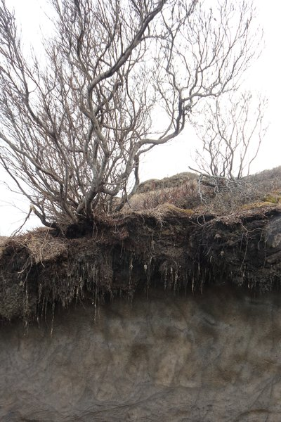 This willow grows in the layer of soil that thaws every summer - beneath that is permafrost.