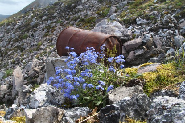 Here thriving on a barren north-facing rocky slope in the arctic, the Alaska State Flower is renowned for its rugged survivability, as well as its beauty.