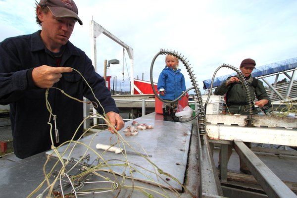 Alaskan herring being used for halibut bait