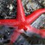 Blood star (Henricia leviuscula)