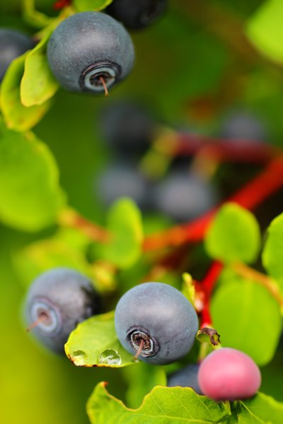 It's a good year for blueberries in Seldovia.