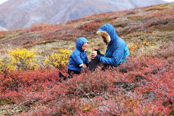 Picking berries with dad in fall colored tundra near the Red Dog Mine