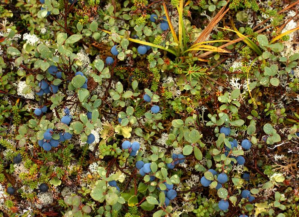 Ripe blueberries coat the tundra throughout much of the mine area. Hills above Frying Pan Lake.