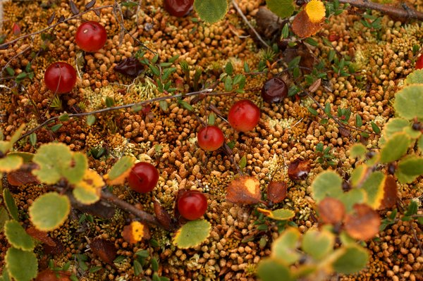 Bog cranberries resting on a bed of sphagnum moss, framed by dwarf birch. South of Upper Talarik creek, near the proposed mine pit.