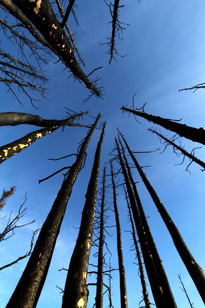 A recent wildfire tore through these black spruce, burning off branches and blackening bark.