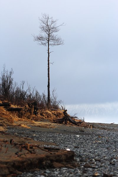 "In some places along the Malaspina Glacier coast, <a href=""http://www.groundtruthtrekking.org/Essays/Global-warming-coastal-erosion-malaspina-glacier.html"">rapid coastal erosion</a> scrapes the beach down to mud."