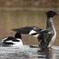 Common Merganser (Mergus merganser)
