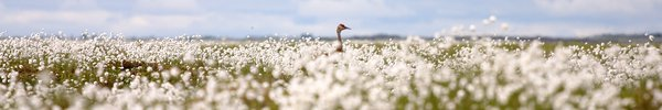 a sandhill crane in a field of cottongrass