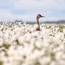 Crane in cottongrass