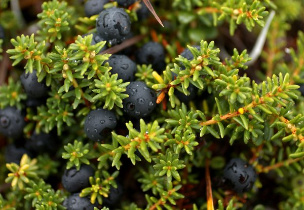 drops of rain on crowberries
