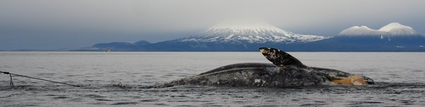This gray whale washed ashore in Sitka, and we saw it under tow headed to a beach where it could be autopsied.