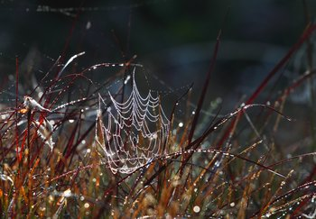 Morning dew leaves a string of sparkling gems on a spiderweb in the grass