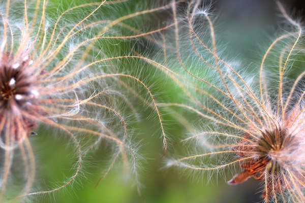 Related to dandelions, dryas seeds like to get lofted into the wind.