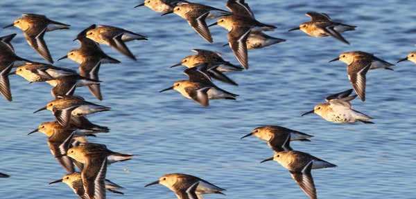 These shorebirds are common around the north pacific, and even up into the arctic ocean.