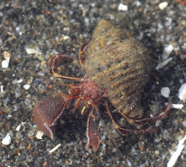 The wide hand hermit crab prefers sandy habitats -- I don't see them very often where I tidepool