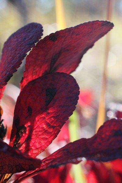 Bearberries are not much prized for their fruit, but the leaves paint tundra with red in fall.