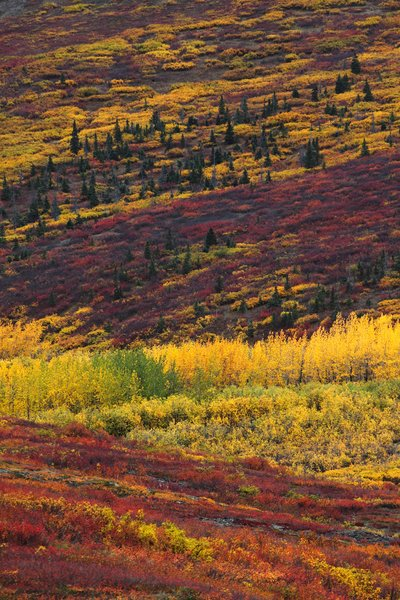 Orange-yellow cottonwood, yellow willow, purple and red dwarf birch, and dark green spruce.
