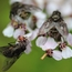 Flies on yarrow flower