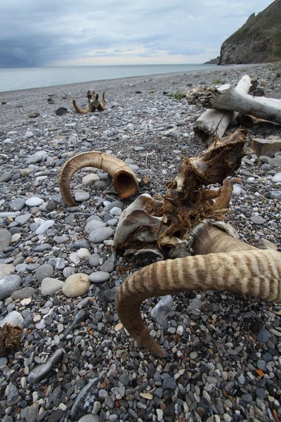Two sheep skulls decaying slowly in the arctic.