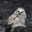 Great Horned Owl on Coal