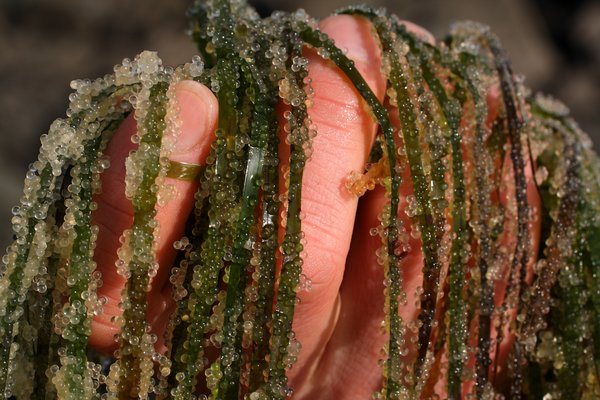A handful of eelgrass brings a mass of herring roe from the Sitka beaches