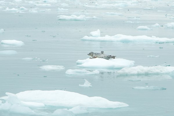 A harbor seal mother and pup rest on growler ice, in Icy Bay, Alaska.