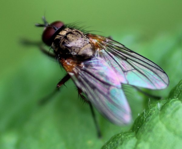 This photo nicely shows this fly, hopefully that will help me narrow it down amongst thousands of species.