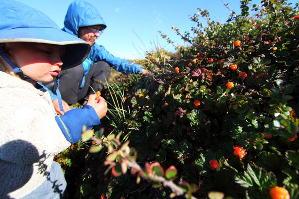 These were Katmai's favorite berry, and here they were at the peak of ripeness, a state they only hold for a few days.