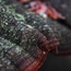 Red Ring Rot (Phellinus pini) macro