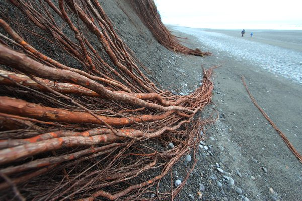 "After a storm, the signs of <a href=""http://www.groundtruthtrekking.org/Essays/Global-warming-coastal-erosion-malaspina-glacier.html"">rapid coastal erosion</a> are especially obvious.  Here, spruce roots trail uselessly down to the beach, where the dirt has been washed away beneath them. <a href=""http://www.groundtruthtrekking.org/PhotoGroups/coastal-erosion-global-warming-photos-Alaska/"">Coastal Erosion Slideshow</a>"