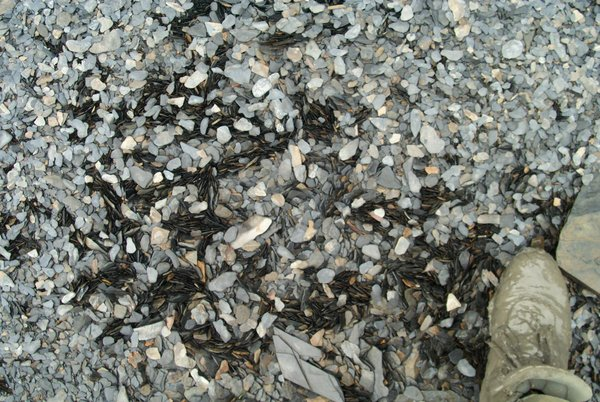 Disk-shaped gravel will sometimes organize into patches where rocks are oriented vertically instead of horizontally.